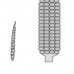 テオシンテと現在のトウモロコシの模式図