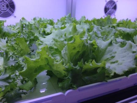 ユニット内で生長するリーフレタス。菌数は市販の洗浄された野菜の100分の1以下。
